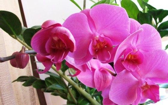 Полив орхидеи фаленопсис