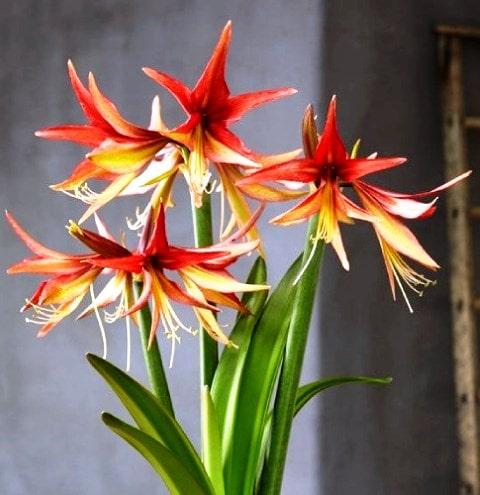 гиппеаструм цветок фото