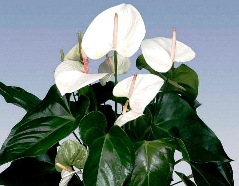 Комнатное растение  антуриум как ухаживать фото