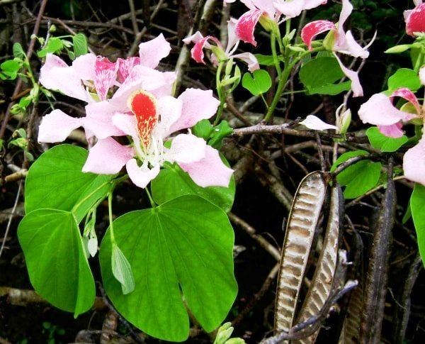 баухиния орхидейное дерево фото
