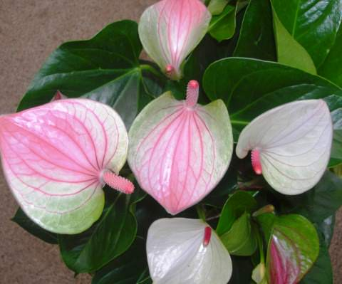 anthurium fantasy-love фото