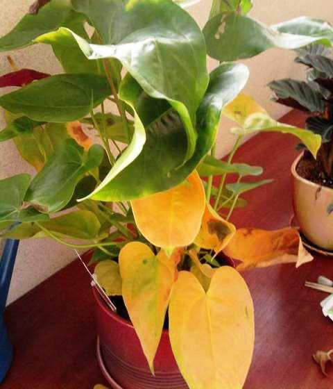антуриум желтеют листья фото
