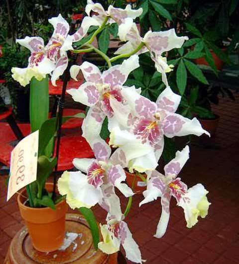 орхидея камбрия уход в домашних условиях фото