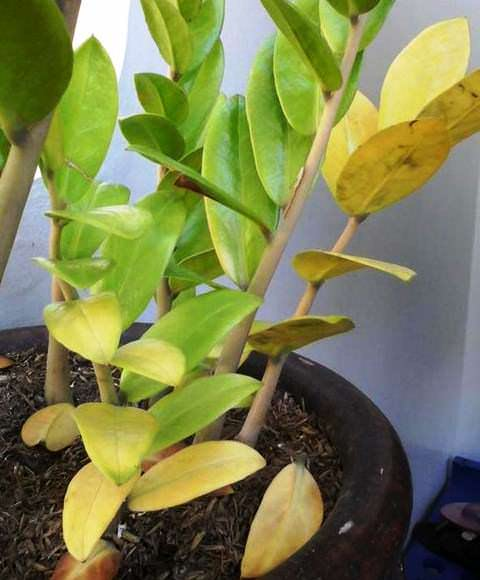 желетеют листья у замиокулькаса фото