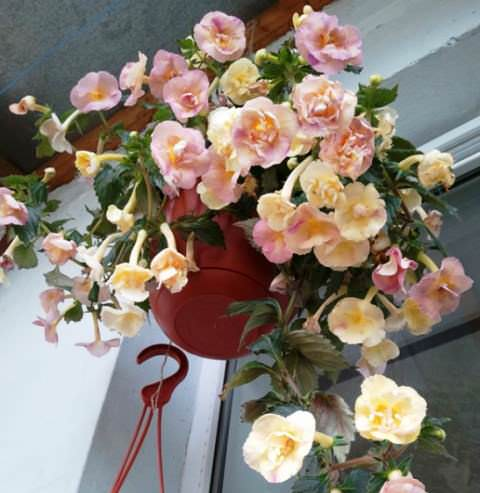 Yellow-English-Rose фото
