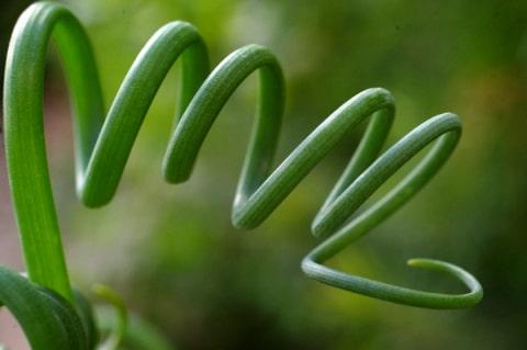 Спиральные листья Альбуки