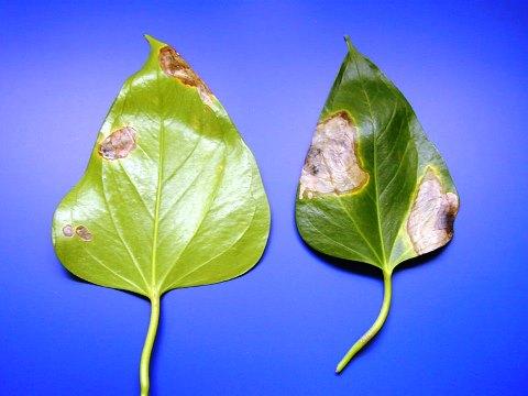 болезни цветка антуриум фото