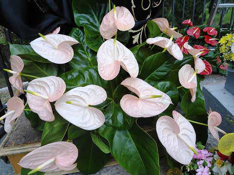 Цветок Антуриум в домашних  условиях фото