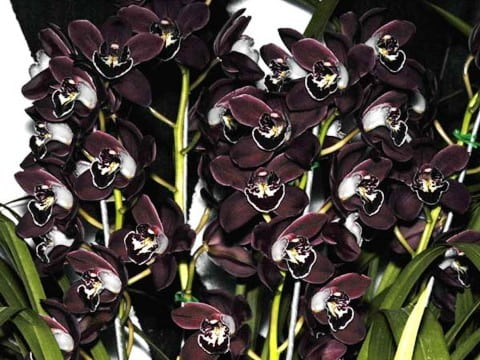 black-orchid-Black Ruby