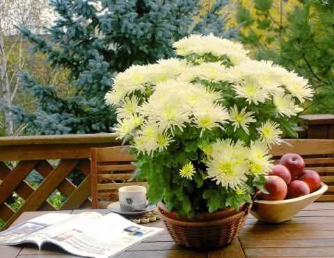 как ухаживать за комнатной хризантемой фото