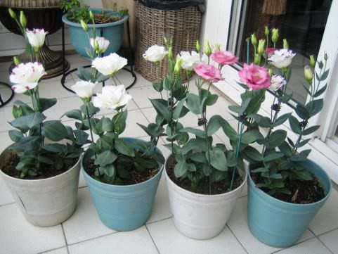 Лизиантус выращивание в домашних условиях