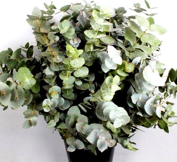 Eucalyptus--cinerea