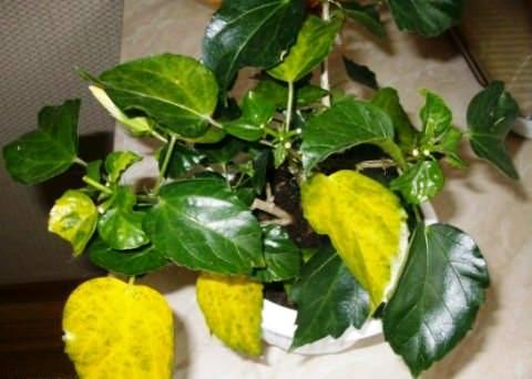 желтеют листья у гибискуса фото