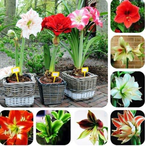 Комнатный гиппеаструм, уход и подготовка к цветению