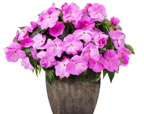 цветок бальзамин фото комнатный