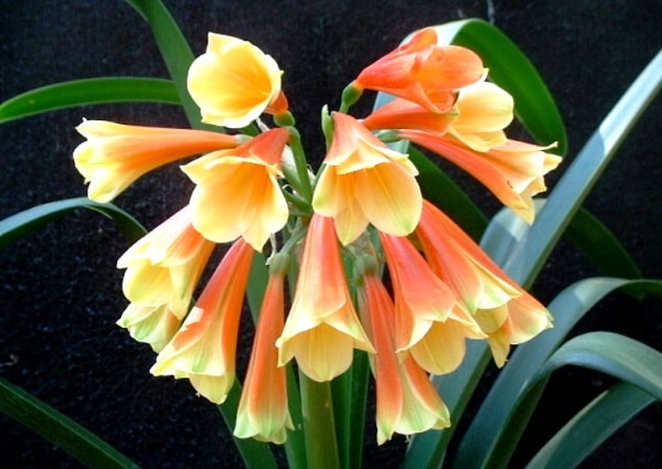 clivia-nobilis.