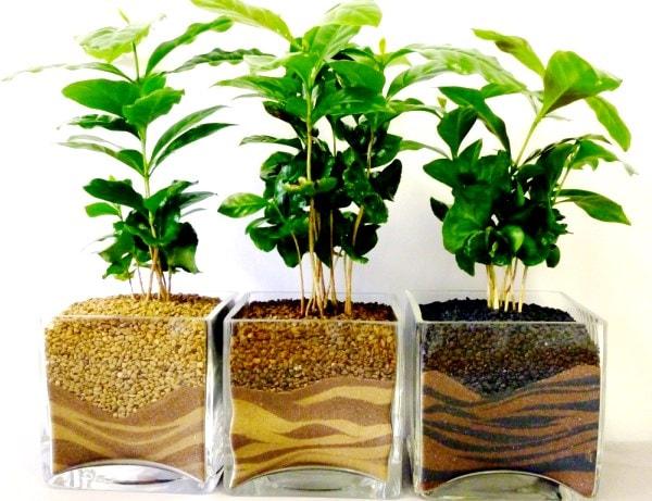 кофейное дерево - плодовые растения