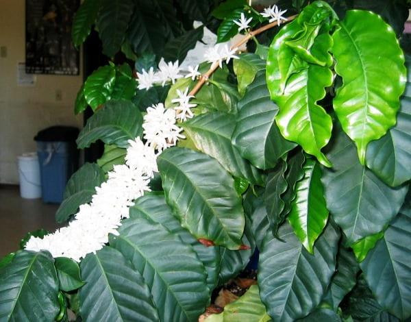 фото цветущего кофейного дерева