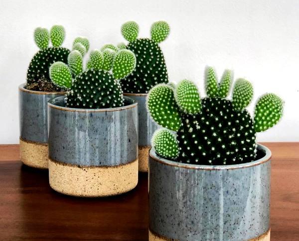 Растение опунция фото