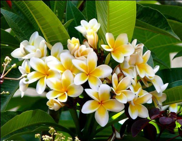Плюмерия - экзотическое комнатное растение
