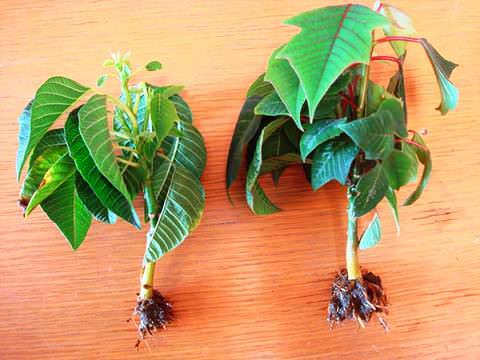 Пуансеттия выращивание из черенка 55