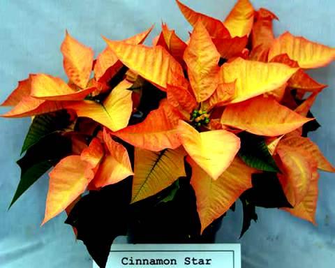 пуансеттия цветение фото