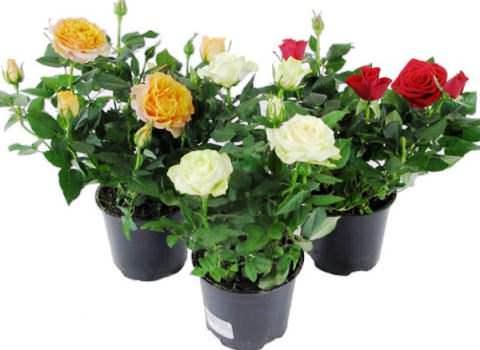 комнатная роза фото