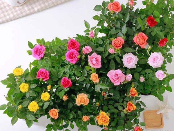 фото роз в домашних условиях