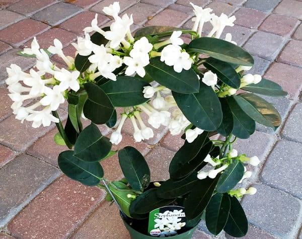 Стефанотис - растение с белыми цветами