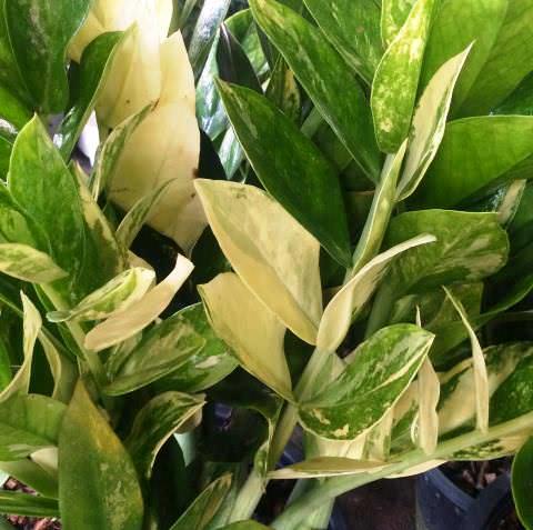 zamioculcas-zamifolia