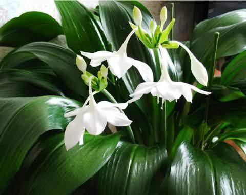Комнатный цветок с белым цветкам