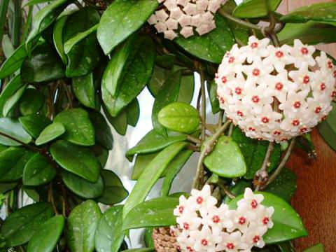 Домашние цветы тенелюбивые
