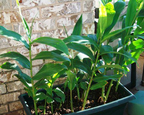 Выращивание имбиря в домашних условиях - Всё об имбире