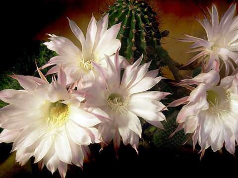 цветение эхинопсиса фото