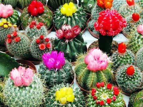 Цветущие кактусы фото 1