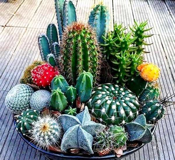 cactusy