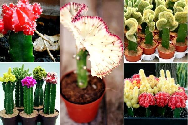 прививка кактусов фото
