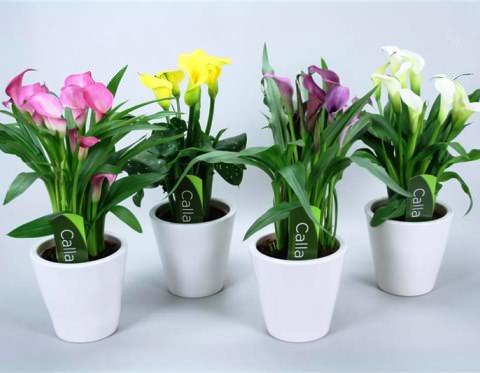 Цветы каллы домашние
