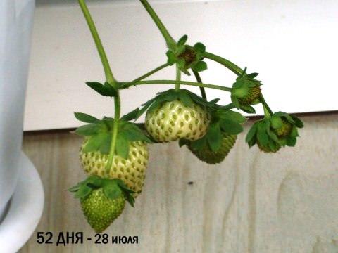 Фотоинструкция как вырастить клубнику дома
