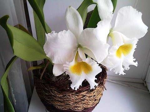 Орхидея Каттлея фото 2