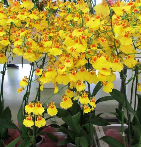 Онцидиум орхидея фото 4