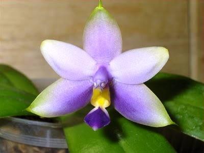 голубая орхидей