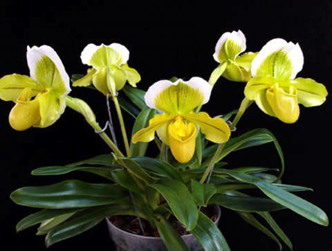 Венерин башмачок комнатные цветы