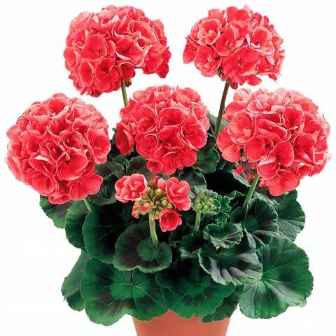 2-Pelargonia.jpg