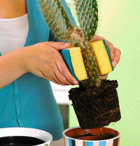 Фото 1.  Вынимаем кактус из горшка, не травмируя руки