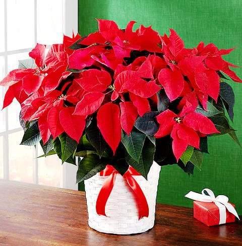пуансеттия цветок фото
