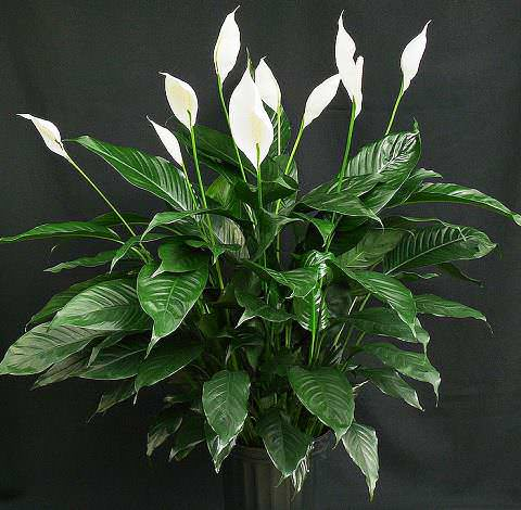 Цветок Спатифиллум уход в домашних условиях