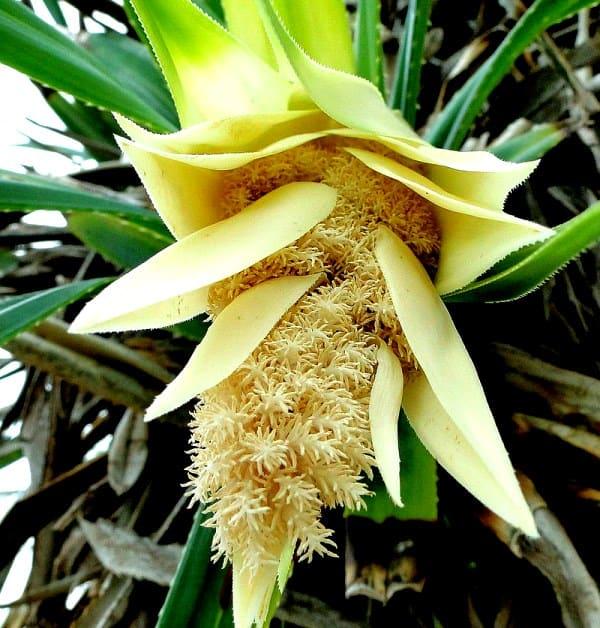 цветок панданус фото