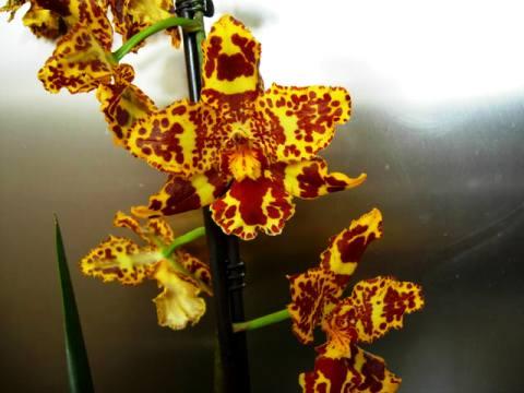 Цветок камбрия фото 2