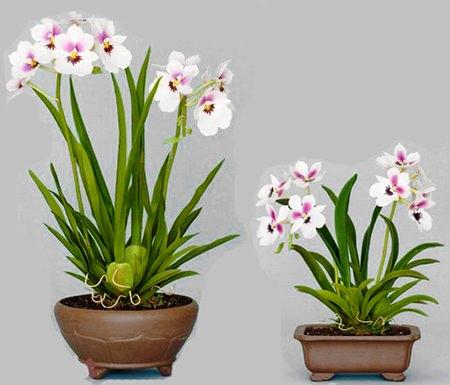 Орхидея камбрия фото 1